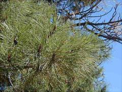 Ponderosa Pine Products