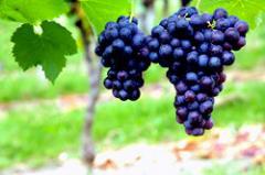 Grapes Fredonia