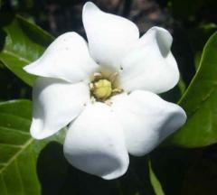 Shrub Gardenia Daisy