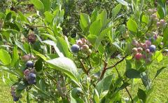 Blueberry Plant Climax
