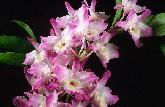 Dendrobium Ise hybrids
