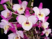 Dendrobium nobile hybrids