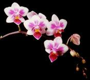 Phalaneopsis Be Tris Newberry