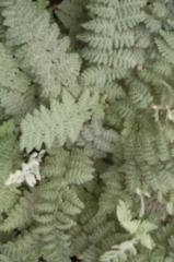 Wooly Lip Fern