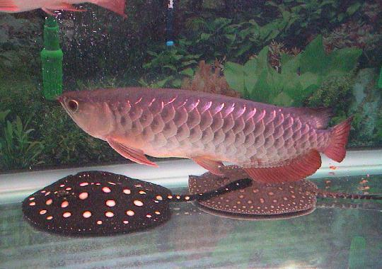 arowana_fish_and_stingray_fishes_for_sale