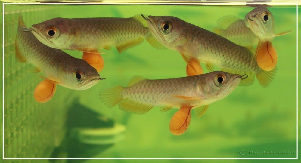 super_red_arowana_fish
