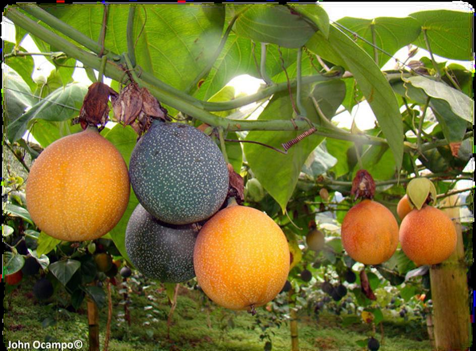 frutas_exoticas_premium