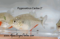 Cariba Piranha