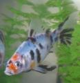 Shubunkin Fish