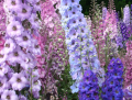 Delphinium grandiflorum Flowers