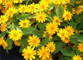 Melampodium paludosum Flowers