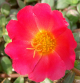 Portulaca oleracea Flowers