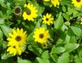 Helianthus debilis Flowers