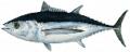 Tombo (Albacore Tuna)