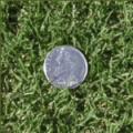 Tifway 419 Turfgrass