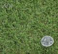Tifgreen 328 Turfgrass