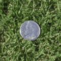 Tifton 10 Turfgrass