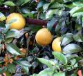 Marsh White Grapefruits