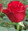 Freedom Roses