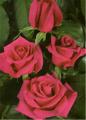 Hot Princess Roses