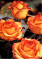 Ambiance Roses