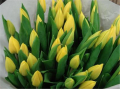 Yellow Flight Tulip