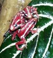 Froglet - Epipedobates tricolor 'Santa Isabel'