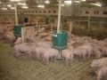 Alimentadores de cerdos