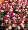 FloriniTM Amalia Series Flowers