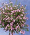 Anisodontea - Cape Mallow Flowers