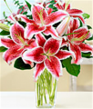 Holiday Stargazer Lilies