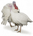 B.U.T. Premium Turkeys