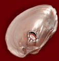 Pink mussel shell