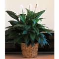 Plants, Spathiphyllum