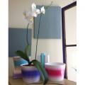 Large Double Phalenopsis Orchid Plant