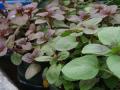 Marginal Aquatic Plants