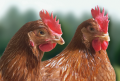 Veterinary Drugs For Poultry