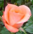 Roses Adriana®