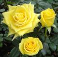 Roses Amante®