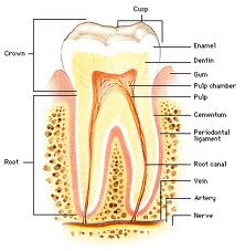 Order Root Canal Therapy