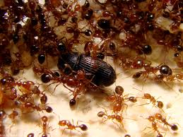 Order Ant treatment