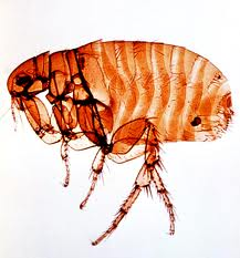 Order Fleas Treatment