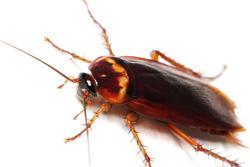 Order American Cockroach Control