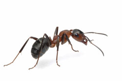 Order Argentine Ants Control