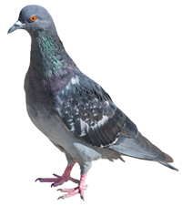 Order Pigeon Control
