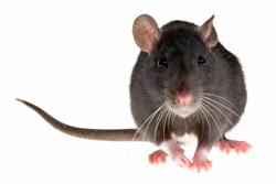 Order Roof Rat Control