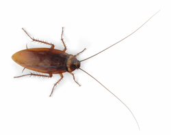 Order German cockroach Control