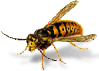 Order Wasps, Hornets and Yellowjackets Control