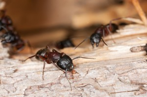 Order Carpenter Ants Treatment