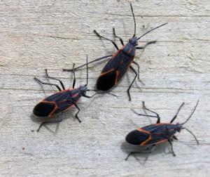 Order Boxelder Bug Treatment
